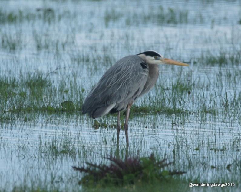 Great Blue Heron in farmers field