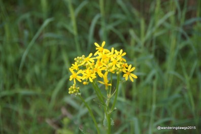 Golden Ragwort at Inks Lake