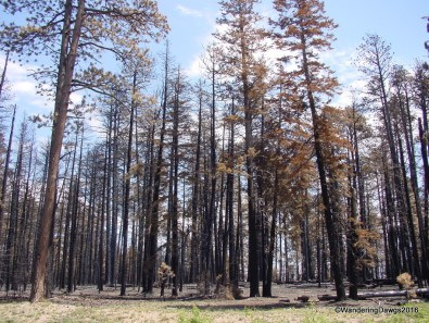 Burned section of Kaibab National Forest on the way to the North Rim of the Grand Canyon
