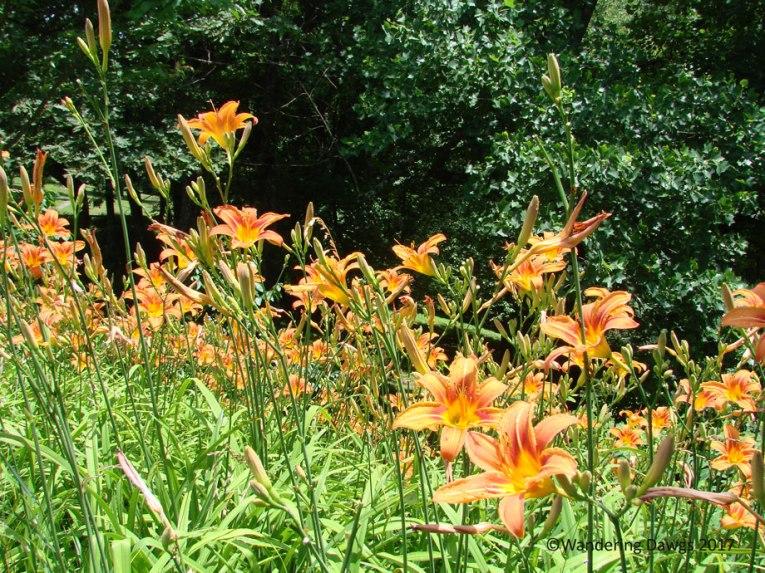 Tiger Lilys at Mabry Mill