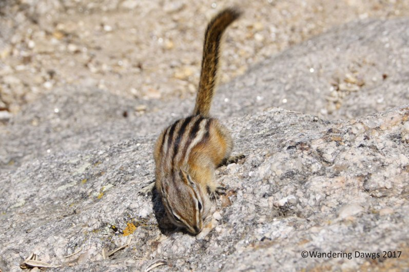Friendly chipmunk at one of the overlooks on the Needles Highway