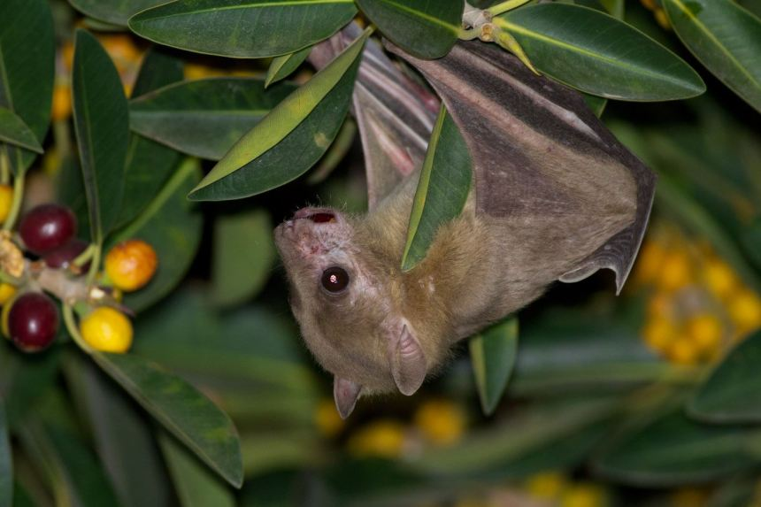 Incredible Bats! Live Program Thistle and Twig Wild Bird and Nature Shoppe Plainfield IL