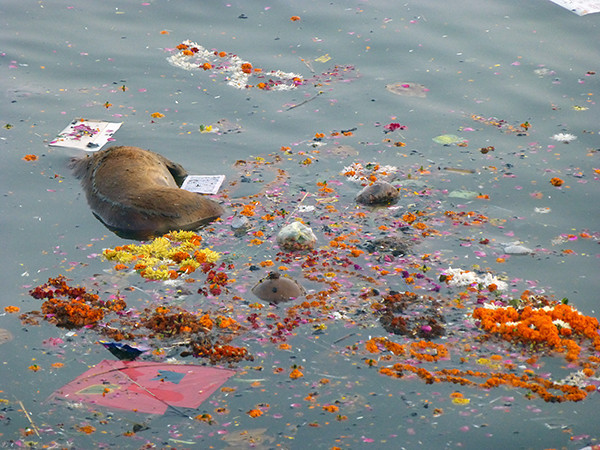 Dead Calf in the Ganges (Varanasi)