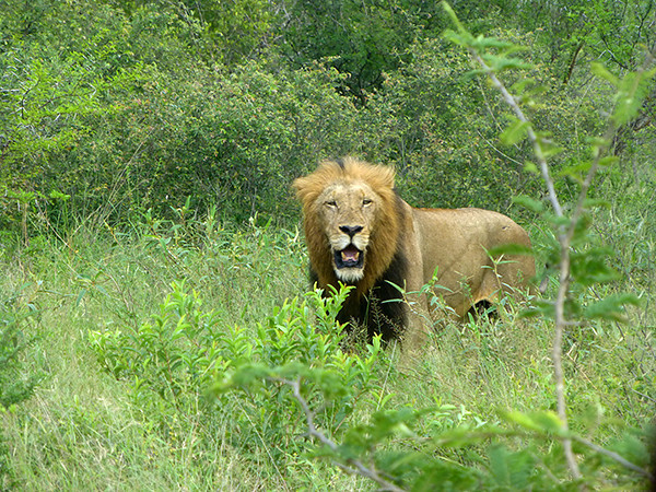 Lion at Thornybush