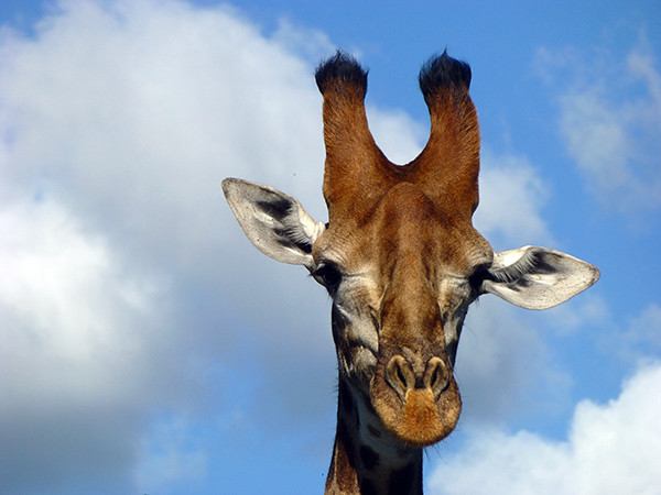 Giraffe at Thornybush