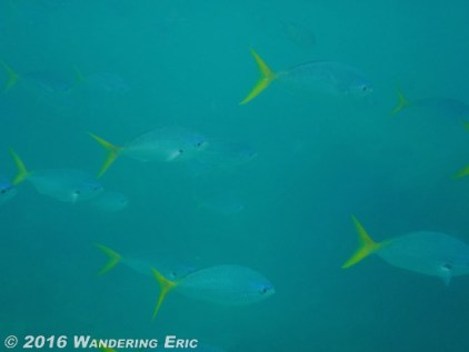 20110224_yellow-tailed-fish