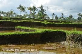 20110730_rice-paddies-up-close