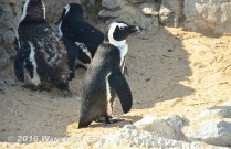 20140704_penguins-i-ll-see-your-cousins-in-antarctica