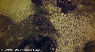 20150207_biggest-blowfish-i-ve-ever-seen