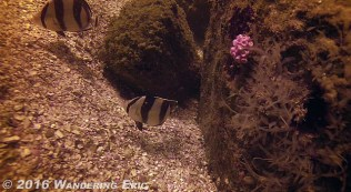 20150207_some-of-the-few-tropical-fish-around-here