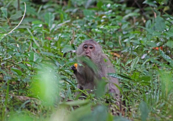 Monkey on Con Son island