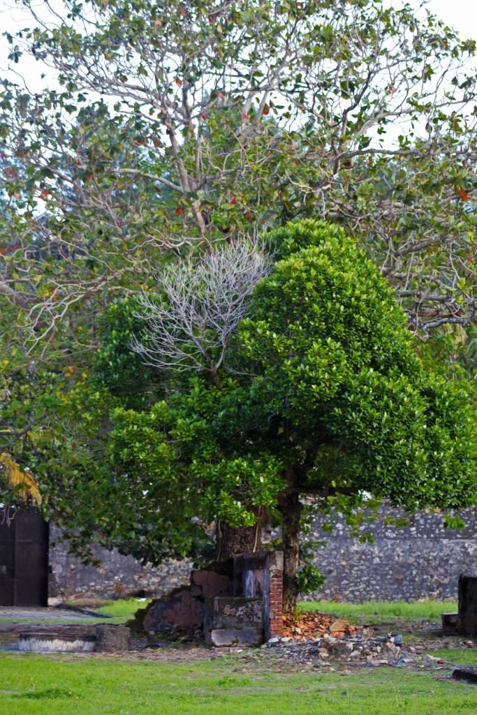 Trees in Con Son prison