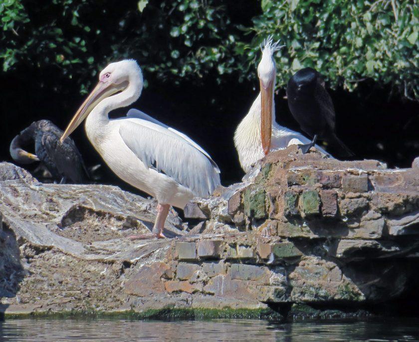 Pelicans living in St James' park, London