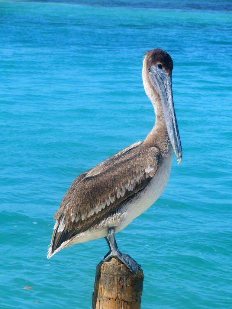 Pelican Belize