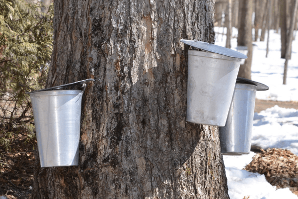 As a Canadian Homesteader I should already be doing this! There's a huge market for this liquid gold.It's also a great niche if you already have maple, birch and walnut trees on your property. It's also a handy niche to have in the off season of farming and gardening. Ashley from Practical Self Reliance lays out the ground work for starting your own small maple syrup operation. I also recommend  getting started with this guide.