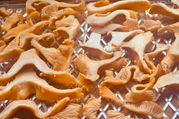 chanterelle mushrooms cut and on racks for dehydrator