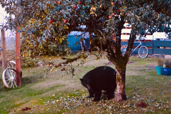 how to prune apple trees for a better harvest season black bear at base of apple tree
