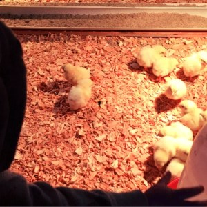 Raising Meat Chickens for Profit
