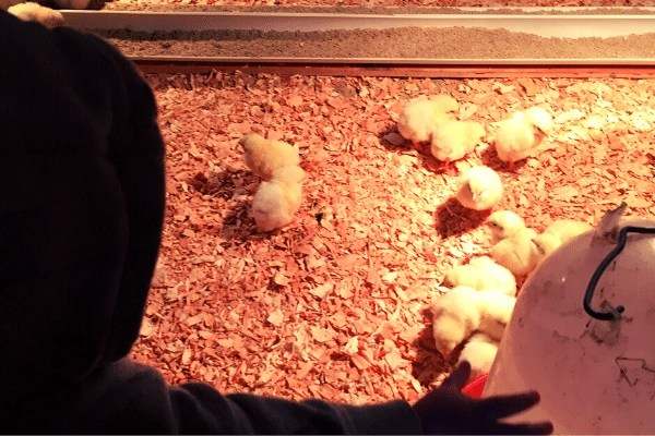 child waving to baby chicks in brooder box with feed and water and lights