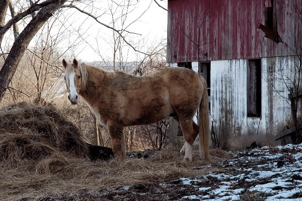 horse eating hay in the cold snow by an old barn  for horse boarding business