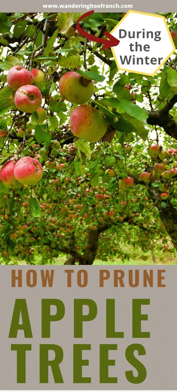 how to prune apple trees in the dead of the winter apple trees