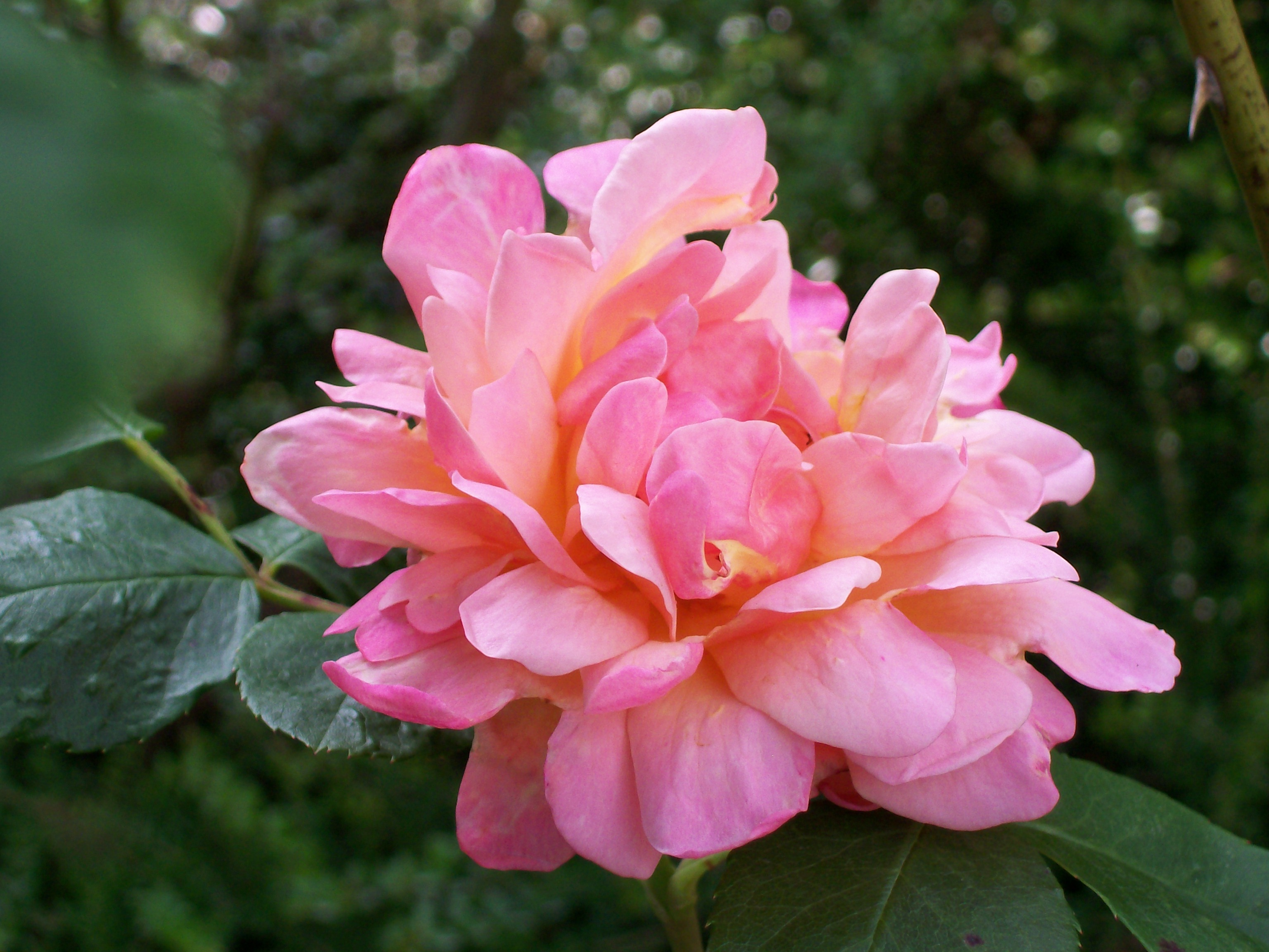 rose in my garden - lean in and breathe in - you may just smell it!