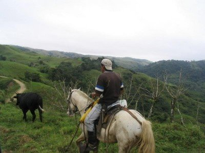 A Costa Rican cowboy drives his heard along the road to Monteverde.