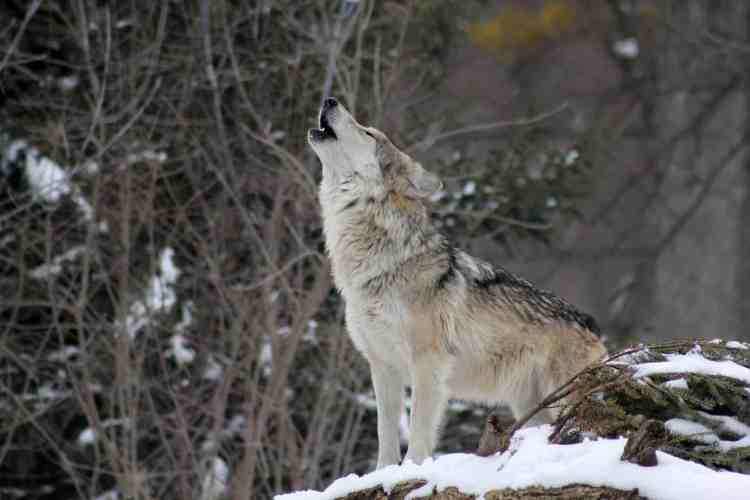 Wildlife in Bulgaria includes wolves!