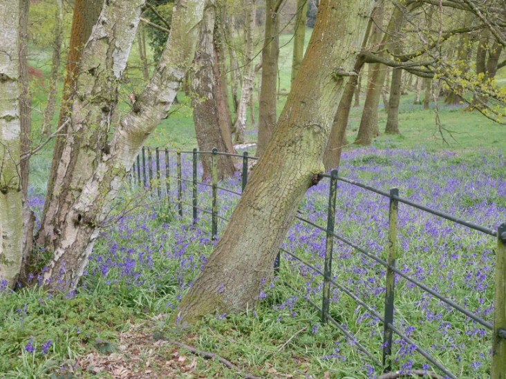 Hampstead Heath bluebells