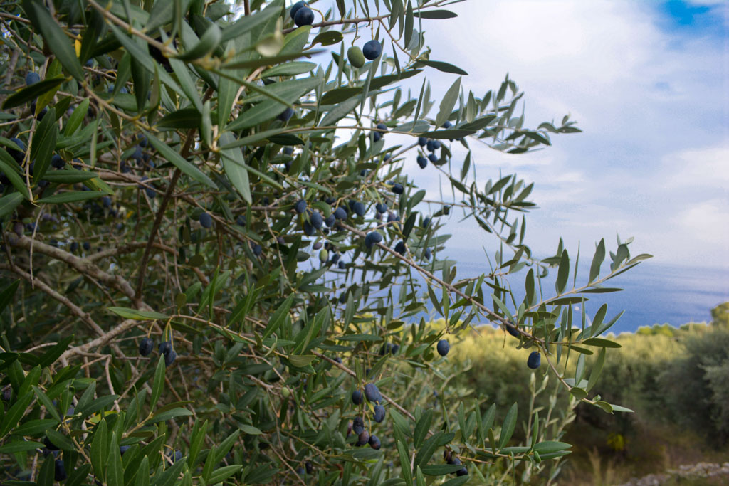 Olive trees overlooking the sea in Castro, Italy