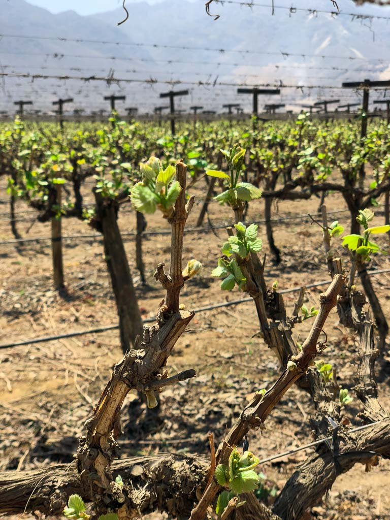 Vineyards on the grounds of Hotel Las Vinas Queirolos