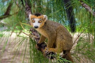 Lemurs in Madagascar (found on Google)