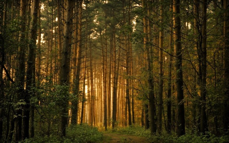 Pine forest with light shining