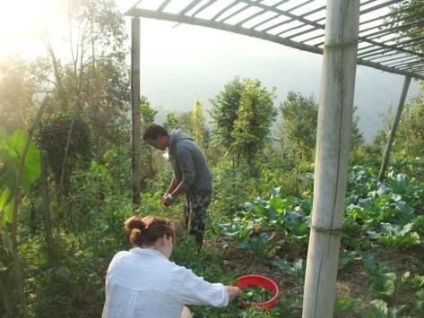 Picking basil