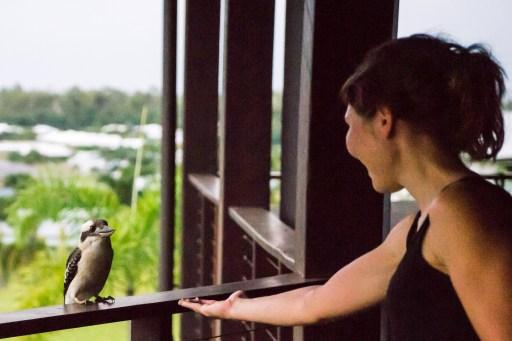 Feeding a kookaburra