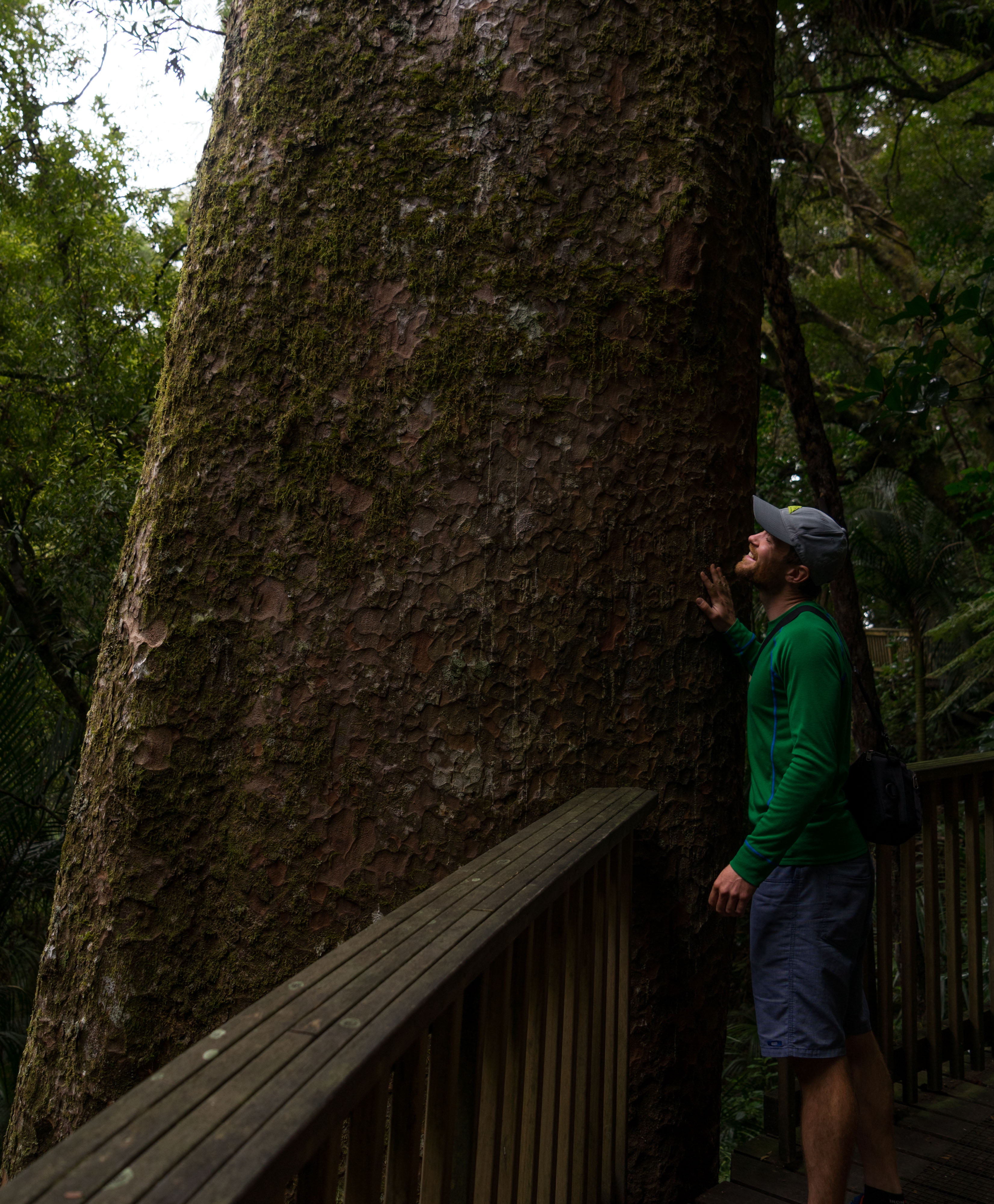 Kauri tree, Northland, New Zealand