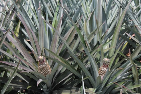 On the drive from Cochin, we came across a pineapple plantation.
