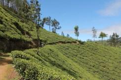 Our hike started among the tea gardens.