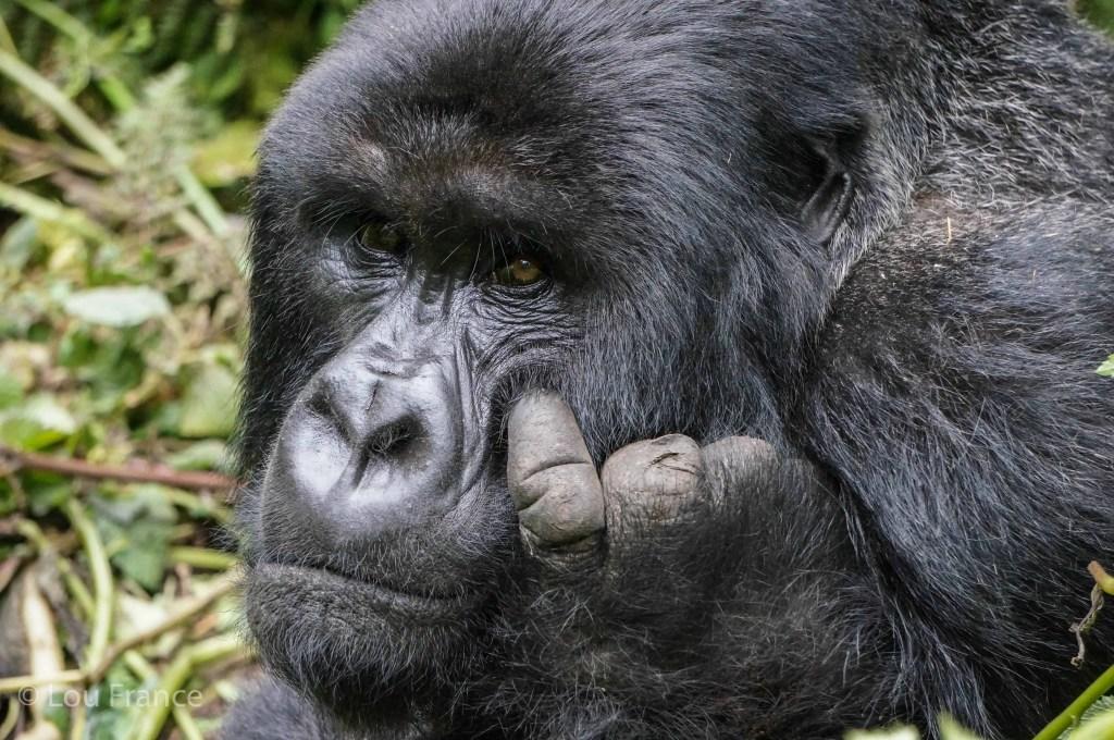 Mountain gorillas are very special creatures but just how difficult is Gorilla Trekking in Rwanda