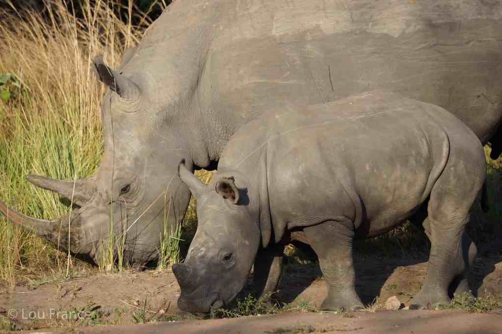 A great alternative adventure is to go walking with Rhinos in Uganda