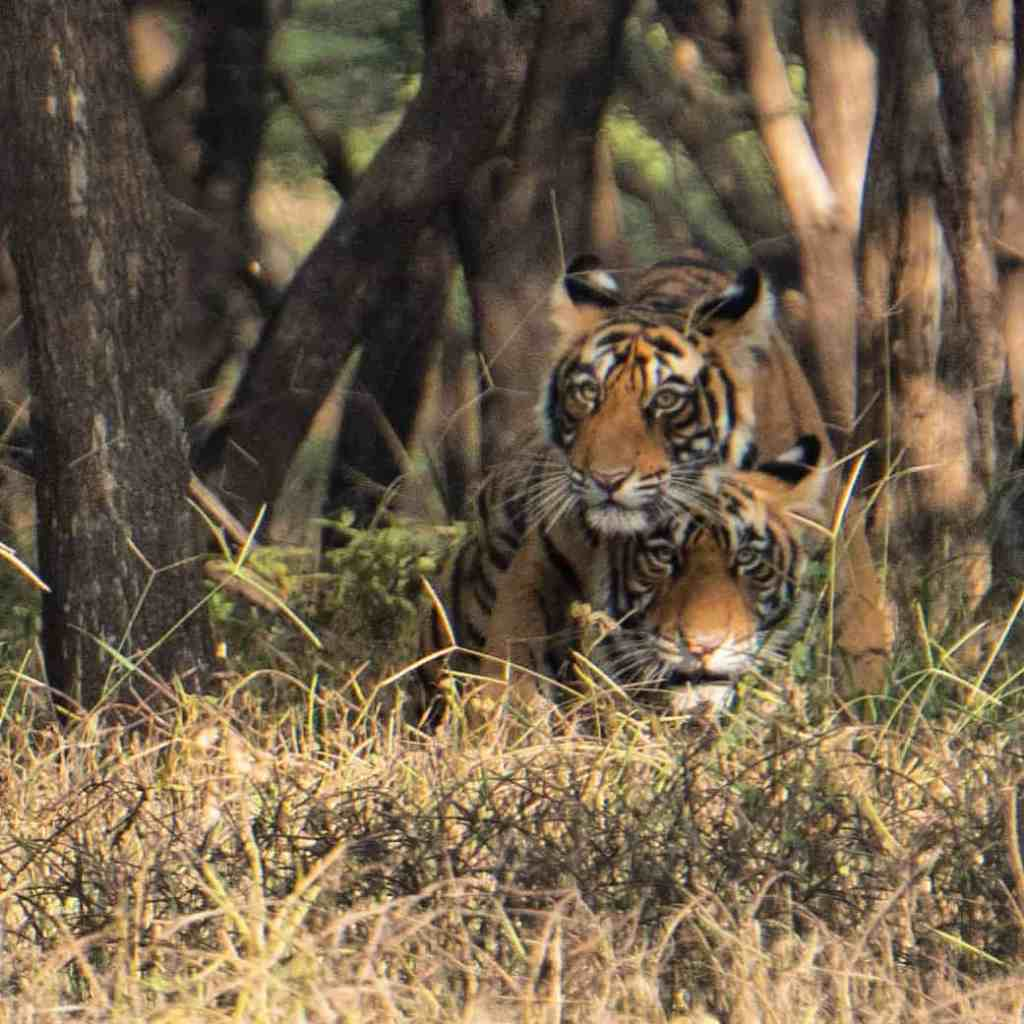 Two tiger cubs on a Ranthambore tiger safari