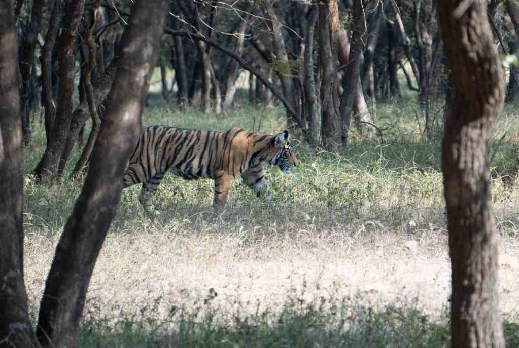 A lone tiger strolls through woods on a safari in Ranthambore