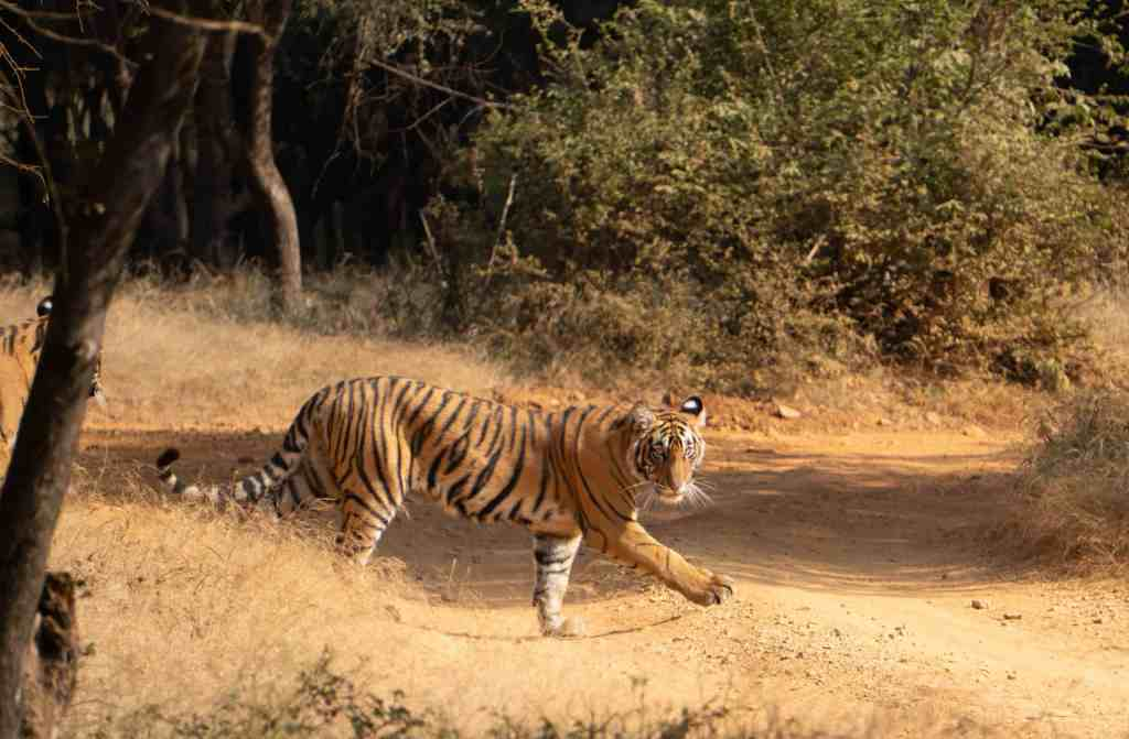A prowling tiger cub on our Ranthambore tiger safari