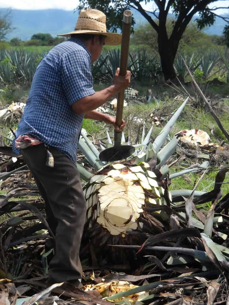 A man cutting blue agave. One of the things to do in Tequila is an agave field visit where this process is demonstrated.