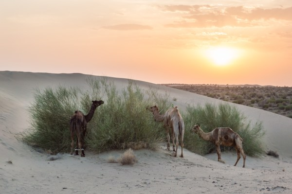 Camels at Sunset, Jaisalmer, India