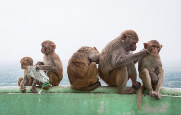 Monkeys at Mount Popa, Myanmar by Wandering Wheatleys