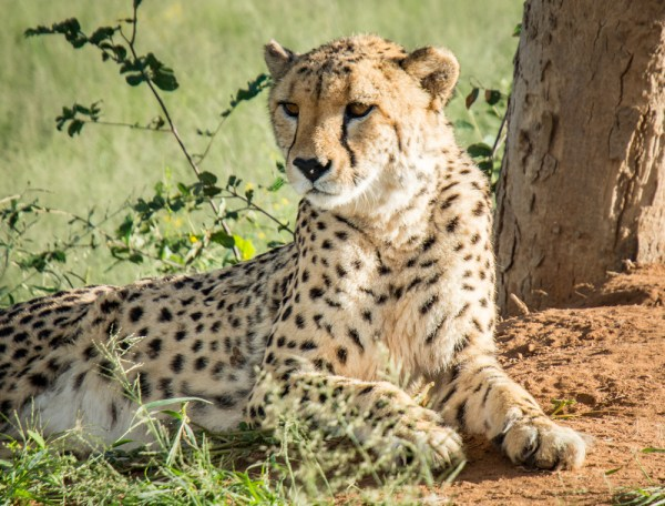 Cheetah, in Okonjima Nature Reserve, Namibia by Wandering Wheatleys