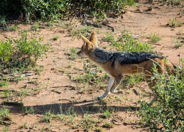 Jackal in Etosha National Park-, Namibia by Wandering Wheatleys