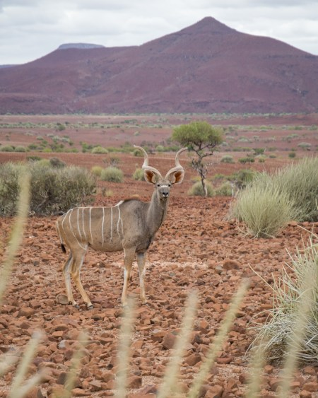 A Kudu in Namibia by Wandering Wheatleys