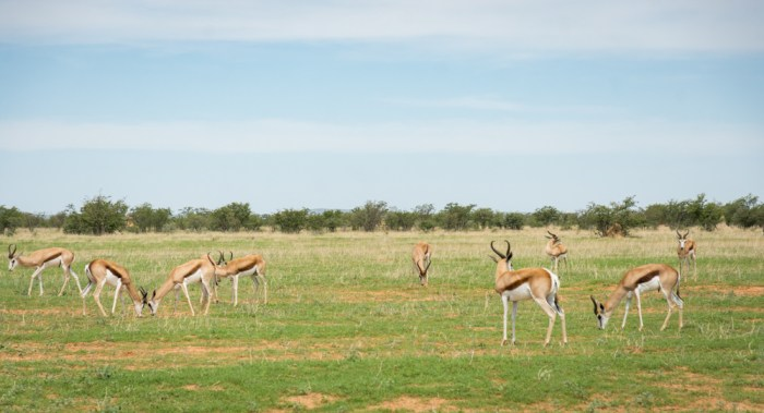 Springbok in Etosha National Park, Namibia by Wandering Wheatleys